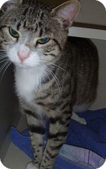 Domestic Shorthair Cat for adoption in Hamburg, New York - Jayden