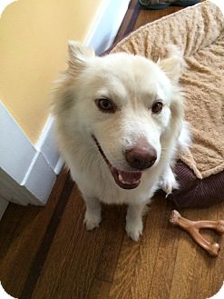 Husky/Golden Retriever Mix Dog for adoption in Nashville, Tennessee - Jujubee