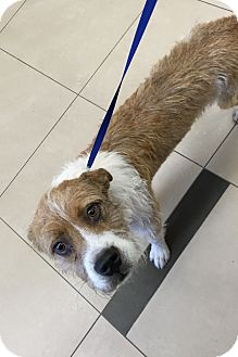 Wheaten Terrier Mix Dog for adoption in Port Charlotte, Florida - Buster