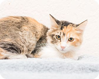 Calico Kitten for adoption in Fountain Hills, Arizona - Meredith