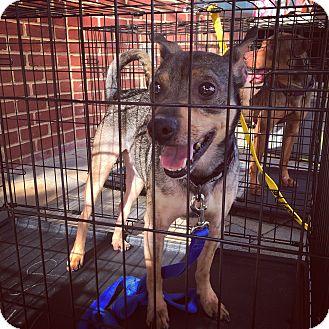 Hound (Unknown Type) Mix Dog for adoption in Manassas, Virginia - Badger