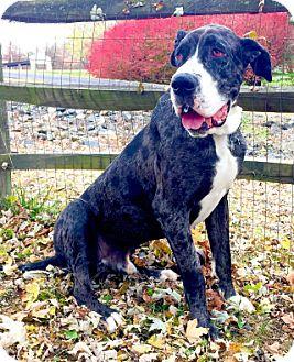 Great Dane Dog for adoption in Hanover, Maryland - Mr. Bascomb