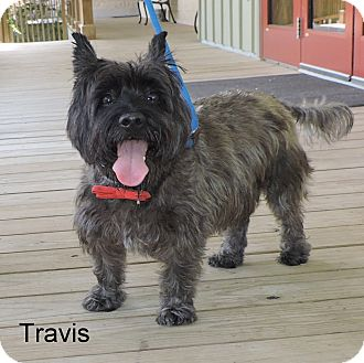 Cairn Terrier Mix Dog for adoption in Slidell, Louisiana - Travis