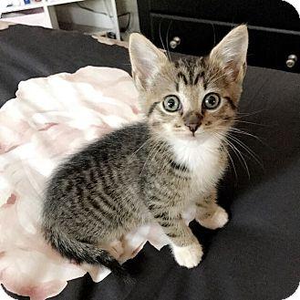 Domestic Shorthair Kitten for adoption in Seneca, South Carolina - Louie $75