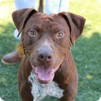 Adopt A Pet :: Major - Greensboro, NC