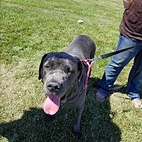 Adopt A Pet :: Belle - Decatur, IN