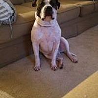 Mastiff/Boxer Mix Dog for adoption in Lynnwood, Washington - The Dude