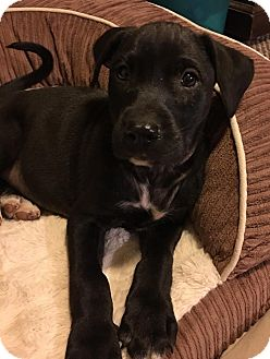 Labrador Retriever Mix Puppy for adoption in Southbury, Connecticut - Lily