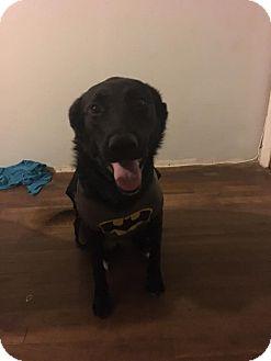 Belgian Shepherd/Labrador Retriever Mix Dog for adoption in Lake Jackson, Texas - Esmeralda
