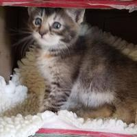 Domestic Shorthair/Domestic Shorthair Mix Cat for adoption in Buffalo, Wyoming - Ash