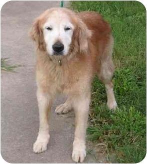 Golden Retriever Dog for adoption in Bourg, Louisiana - CANDY