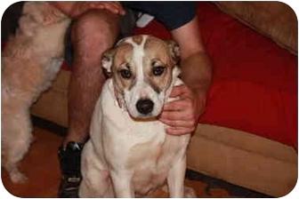 Labrador Retriever/Catahoula Leopard Dog Mix Puppy for adoption in Prince William County, Virginia - sara