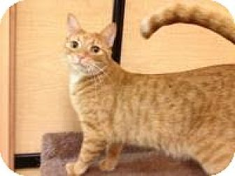Domestic Shorthair Cat for adoption in Miami, Florida - Tammy