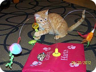 Domestic Mediumhair Kitten for adoption in Hopkinsville, Kentucky - Heathcliff