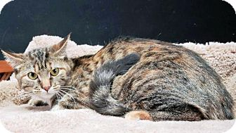 Domestic Mediumhair Cat for adoption in Rock Springs, Wyoming - Reeces