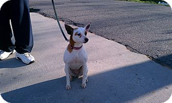 Rat Terrier Mix Dog for adoption in Beacon, New York - Sandy