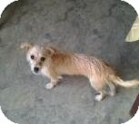 Terrier (Unknown Type, Small) Mix Puppy for adoption in St. Petersburg, Florida - Macy