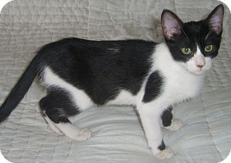 Domestic Shorthair Cat for adoption in Gilbert, Arizona - Jeepers