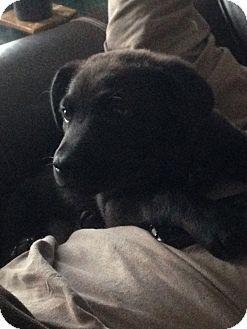 Labrador Retriever Mix Puppy for adoption in East Hartford, Connecticut - Drake-pending adoption