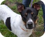 Rottweiler/Labrador Retriever Mix Dog for adoption in Miami, Florida - Monte Carlo