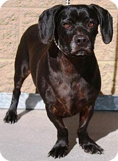 Basset Hound/Labrador Retriever Mix Dog for adoption in Gilbert, Arizona - Phoenix