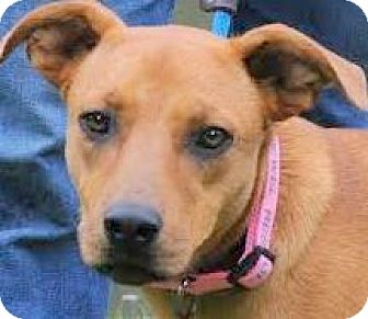 """Boxer Mix Dog for adoption in Wakefield, Rhode Island - MIRACLE(THE """"UNINVITED GUEST!!"""