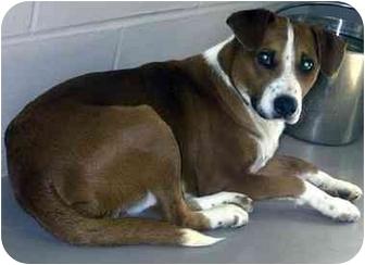 Hound (Unknown Type) Mix Dog for adoption in Batavia, Ohio - Hammer