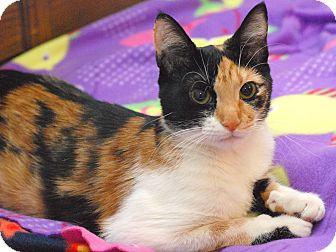 Domestic Shorthair Cat for adoption in Marietta, Georgia - Stitches