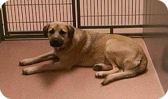 Shepherd (Unknown Type) Mix Dog for adoption in Columbus, Georgia - Sarah 9675