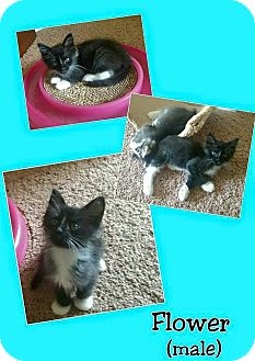 Domestic Mediumhair Kitten for adoption in North Richland Hills, Texas - Flower