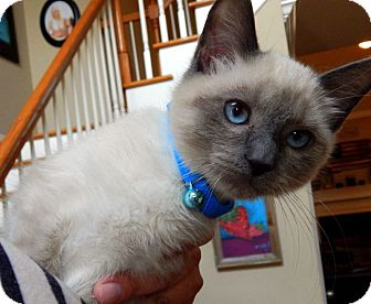 Siamese Kitten for adoption in Chattanooga, Tennessee - Watson
