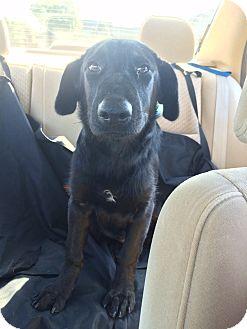 Labrador Retriever Mix Puppy for adoption in Austin, Texas - Dandelion
