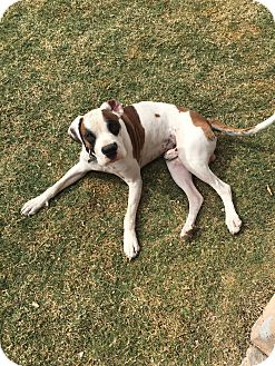 Boxer Mix Dog for adoption in Chandler, Arizona - Cooperfield