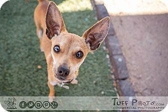 Chihuahua/Manchester Terrier Mix Dog for adoption in Cave Creek, Arizona - Tiny