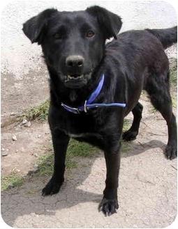 Labrador Retriever Mix Dog for adoption in Albuquerque, New Mexico - Velvet