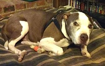 American Pit Bull Terrier/American Bulldog Mix Dog for adoption in CARISLE, Pennsylvania - Lucky