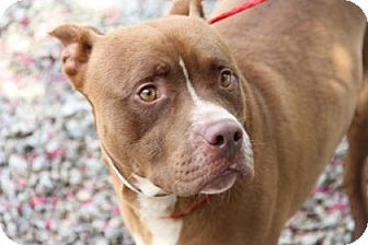 Pit Bull Terrier Mix Dog for adoption in Greensboro, North Carolina - Kobe