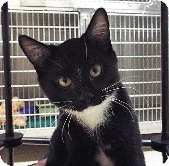 Domestic Mediumhair Kitten for adoption in Grants Pass, Oregon - Ziggy