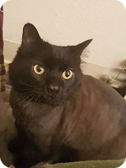 Domestic Longhair Cat for adoption in Anchorage, Alaska - CR