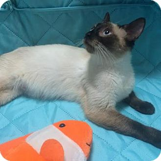 Siamese Cat for adoption in Orlando, Florida - Lilly