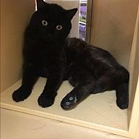 Adopt A Pet :: Cleopatra - El Dorado Hills, CA