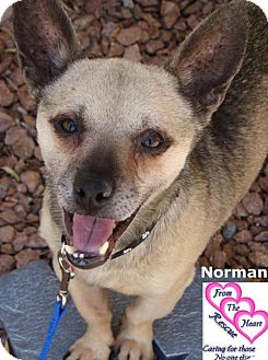 Chihuahua Mix Dog for adoption in Canutillo, Texas - Norman