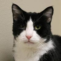 Adopt A Pet :: Sambuca - Wenatchee, WA