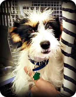 Terrier (Unknown Type, Small)/Rat Terrier Mix Dog for adoption in Tijeras, New Mexico - Kenya