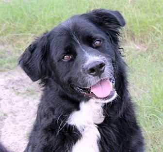 Flat-Coated Retriever/Great Pyrenees Mix Dog for adoption in Loxahatchee, Florida - Duke of Earl
