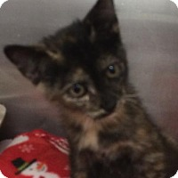 Adopt A Pet :: Little Peanut - Amarillo, TX