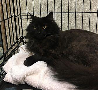 Domestic Longhair Cat for adoption in Goshen, New York - Mystique
