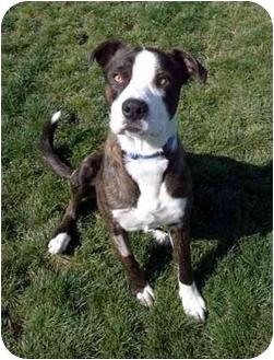 Pit Bull Terrier Mix Dog for adoption in Phoenix, Oregon - Sam