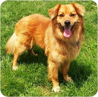 Collie/Australian Shepherd Mix Dog for adoption in Latrobe, Pennsylvania - Harvey