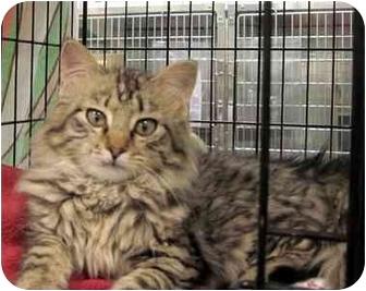 Domestic Longhair Kitten for adoption in Overland Park, Kansas - Jeanne